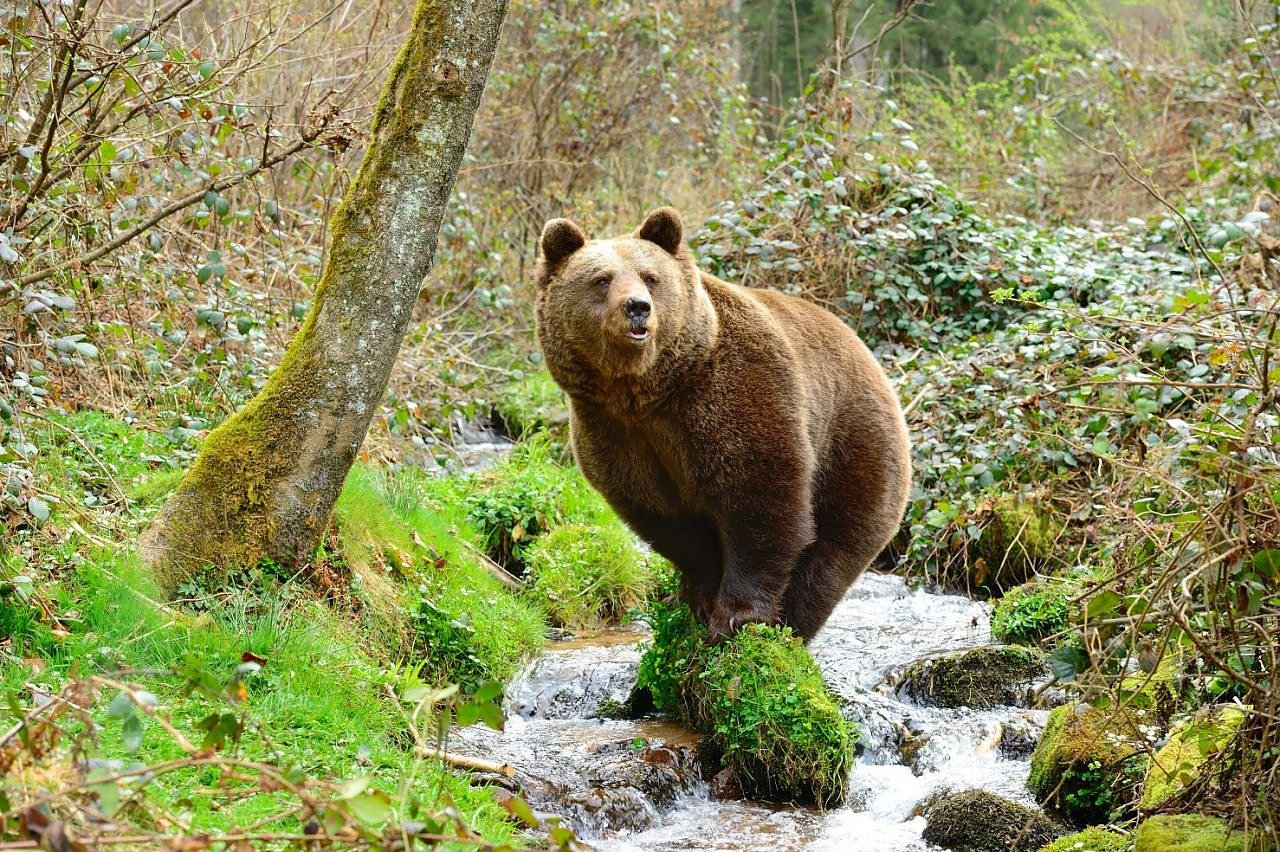 Schwarzwald Bären