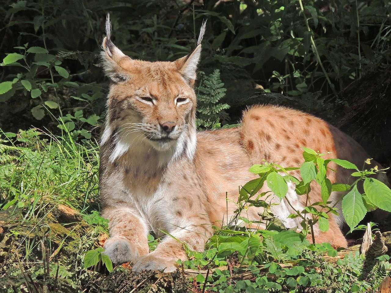 Luchs (Foto: Silvester Tamás)